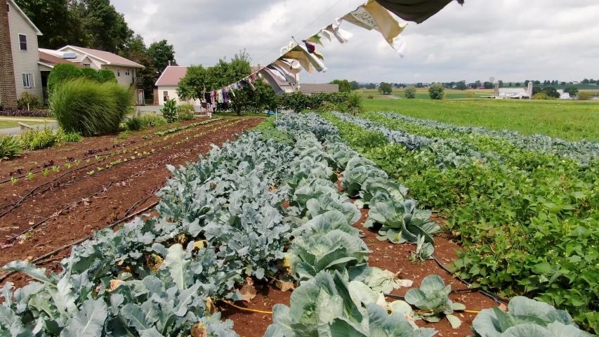 Amish Broccoli Garden