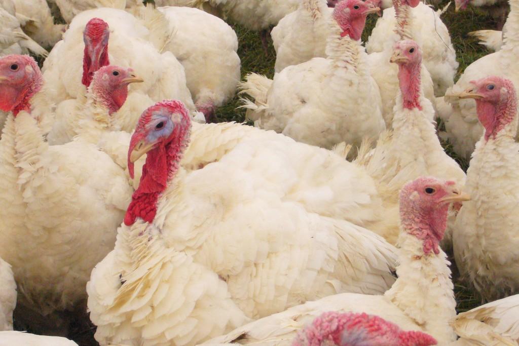 Organic Amish turkeys