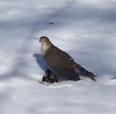 A Cooper's Hawk pins a starling in the snow....