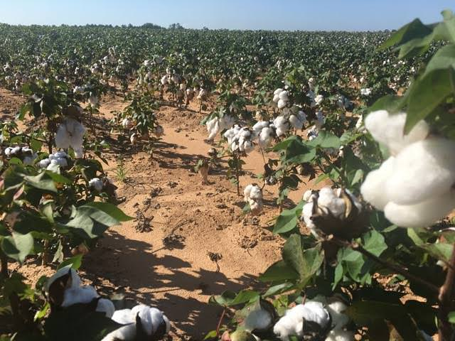 Cotton fields in full bloom spread out from Montezuma