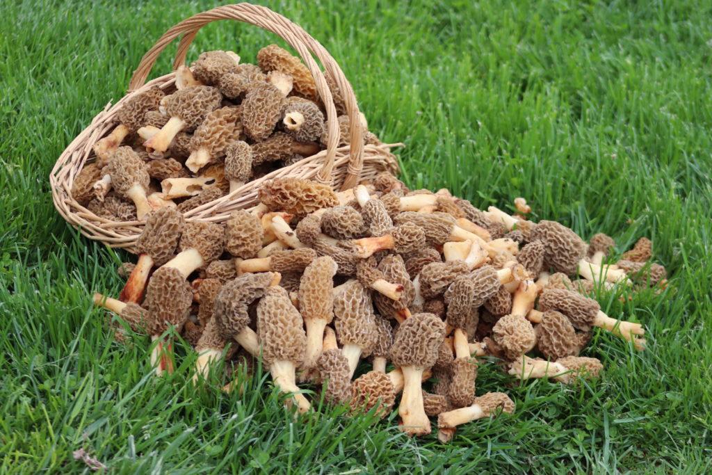 The Amish Cook:  Gloria's Spring Mushrooms